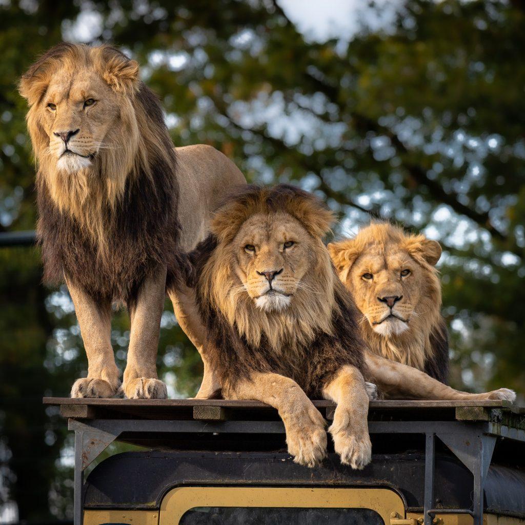 Wild lions