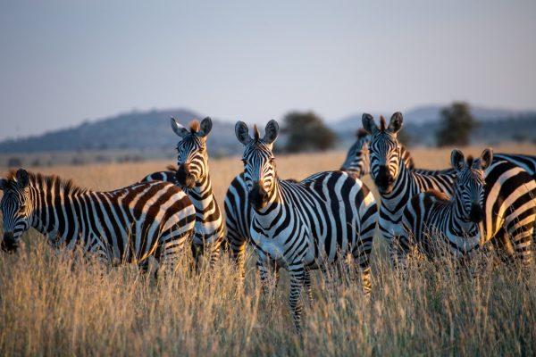Zebras at Samburu
