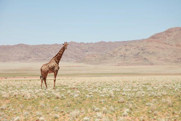 A lone giraffe