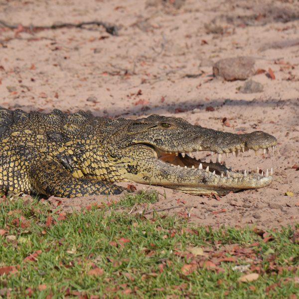 Crocodile in Lake Baringo