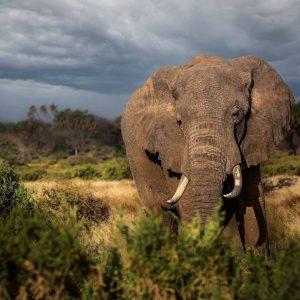 Elephants of the Amboseli