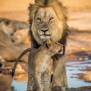 King lion and a cub