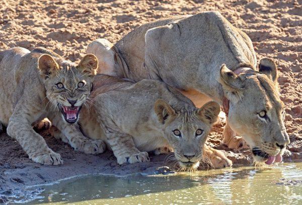 brave little lions