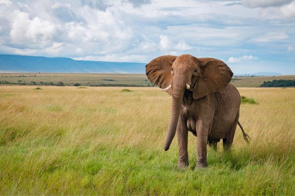 Elephants in the plains