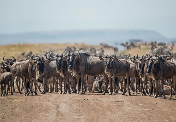 Wildebeests on the road