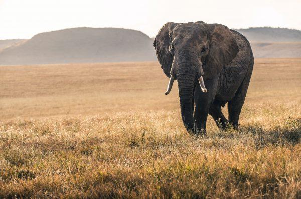 A beautiful elephant