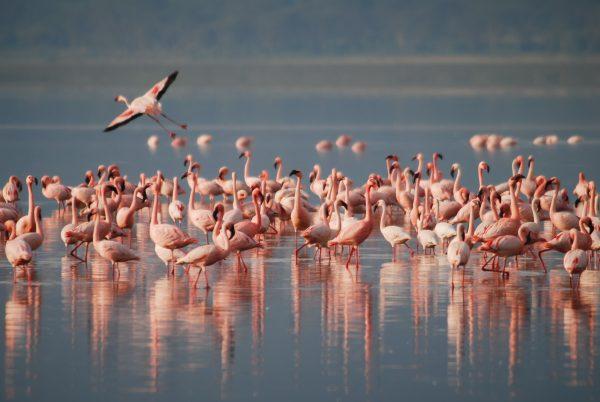 flamingos at Lake Naivasha