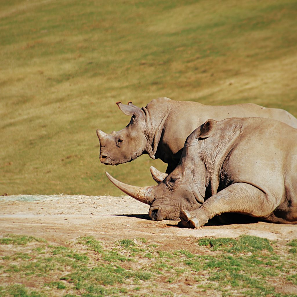 Rhinos at the Ziwa conservancy