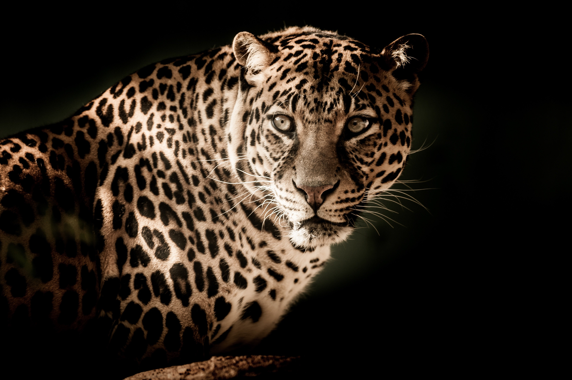 leopard of the aberdares