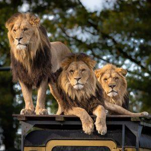 lion-4581841