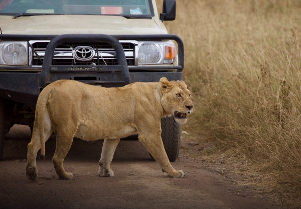 Lion crossing