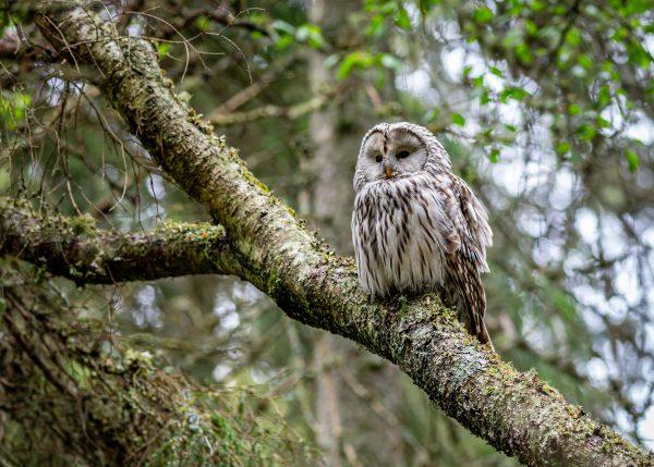 Owl at Lake Bogoria