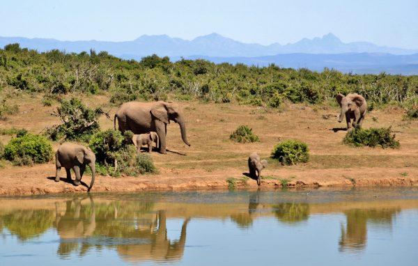 Elephants of the Aberdares