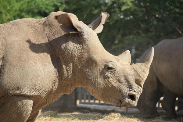 Horny rhino