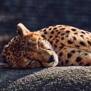 Leopard taking a nap