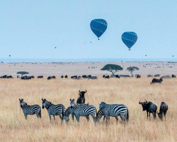 Zebra at the Mara