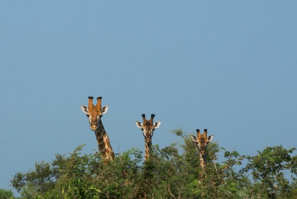 Tallest animals in the plains
