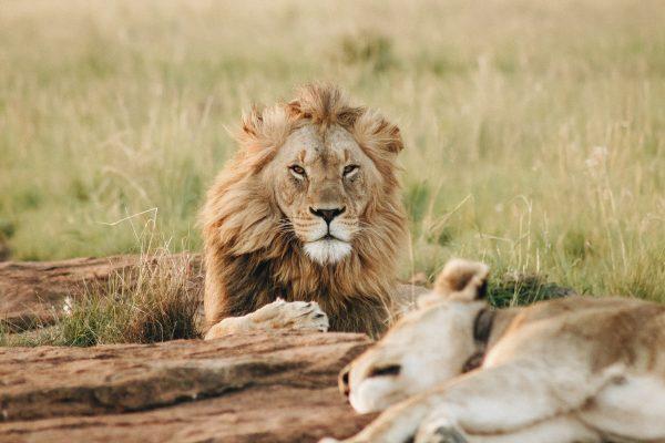 Lions resting