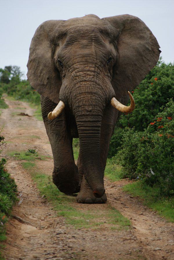 Elephants at the Amboseli